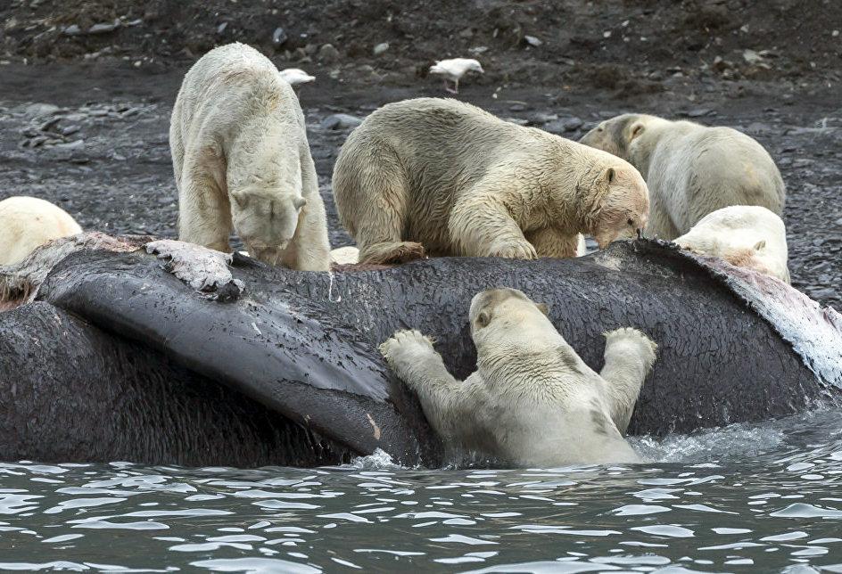 Медведи на Острове Врангеля в Чукотском автономном округе