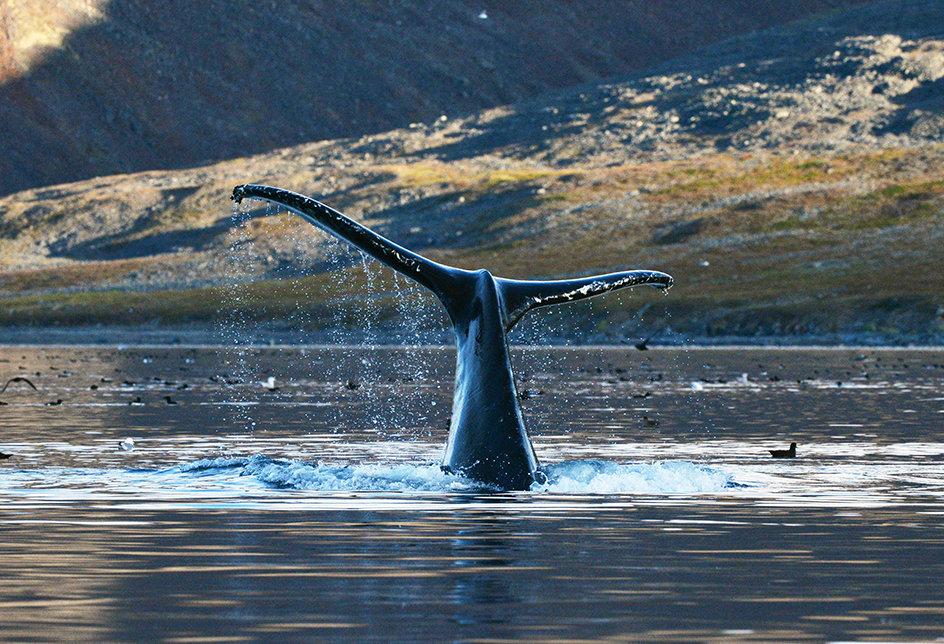 Серый кит в проливе Сенявина у острова Ыттыгран в Чукотском автономном округе