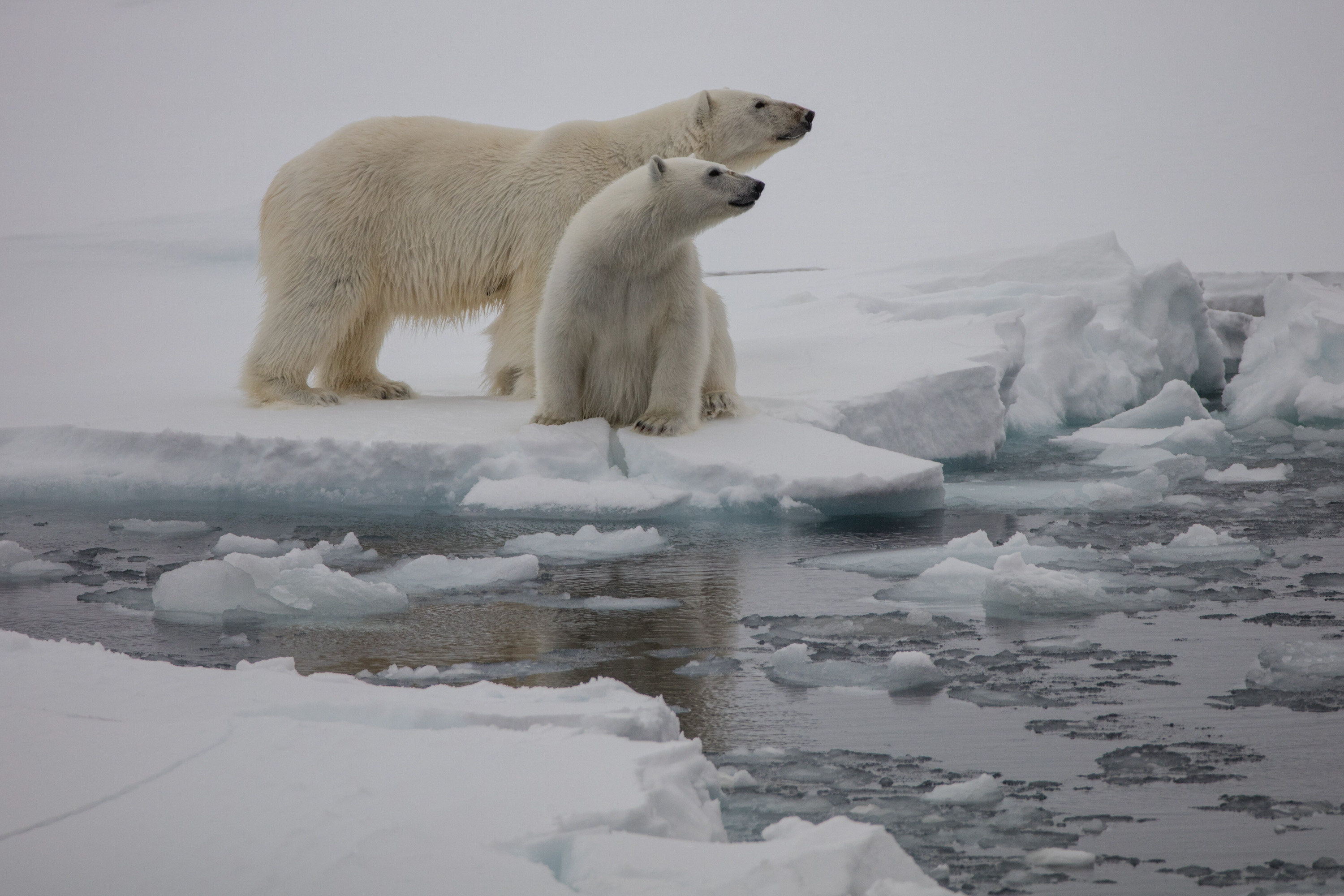 Polar bears at Russian Arctic National Park on Franz Josef Land