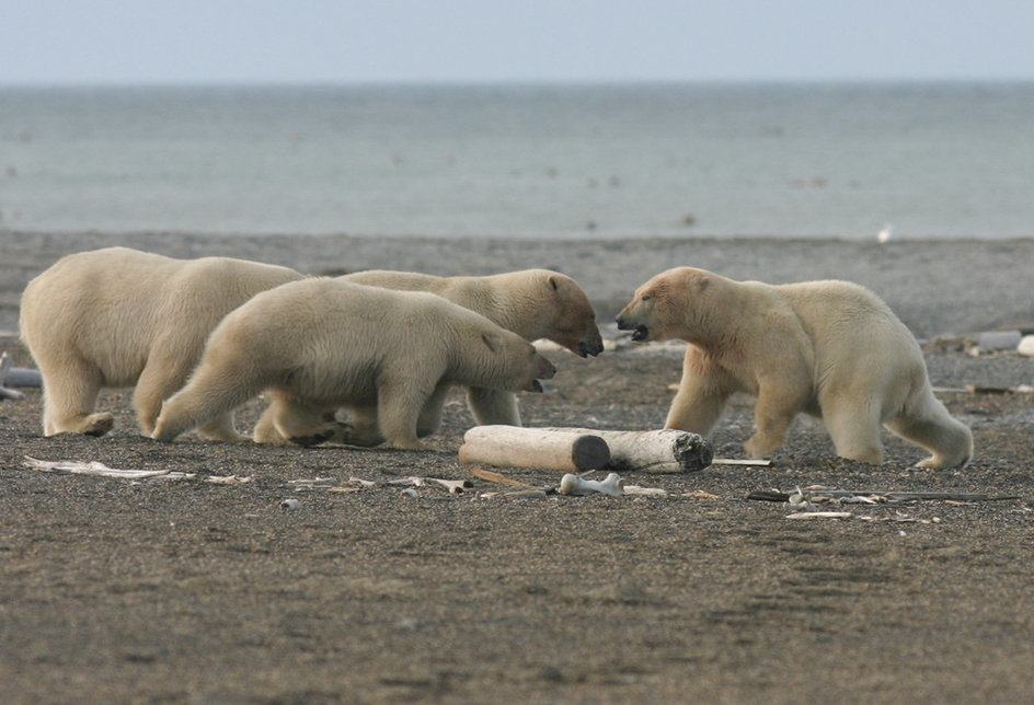 A family group interacts with a young male on Cape Blossom in the Chukotka Autonomous Area