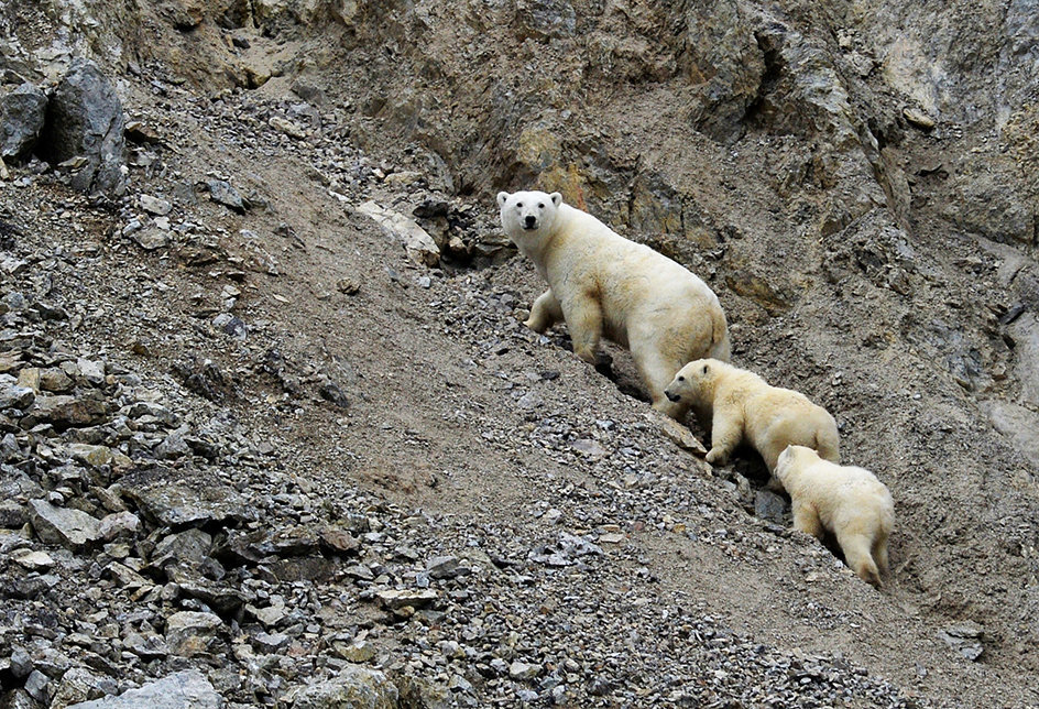 A female polar bear with her cubs at Dragi Harbor on Wrangel Island in the Chukotka Autonomous Area