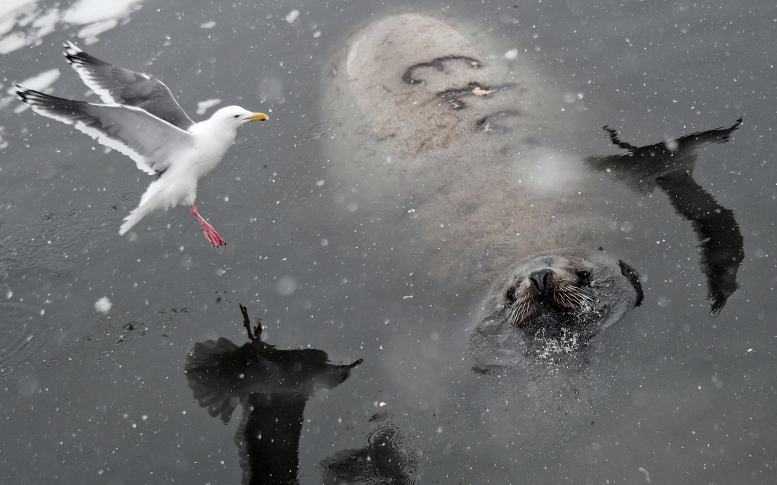 A Stellar sea lion rookery in Petropavlovsk-Kamchatsky