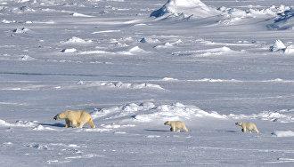 Учёные на Ямале надели спутниковые ошейники на белых медведей для изучения климата
