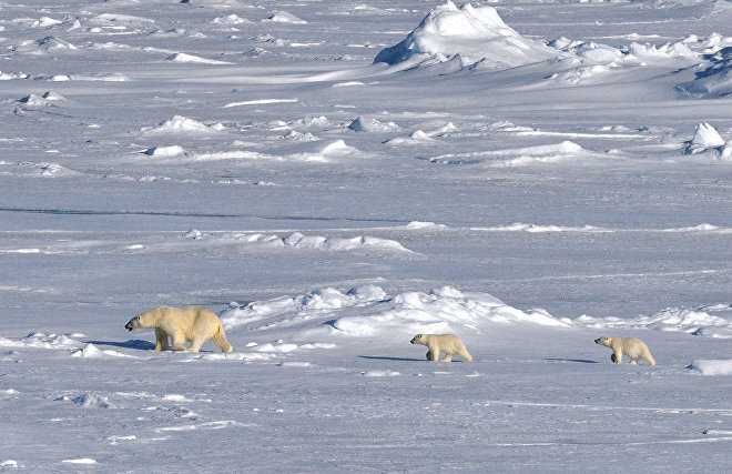 Russia to count polar bears for the first time