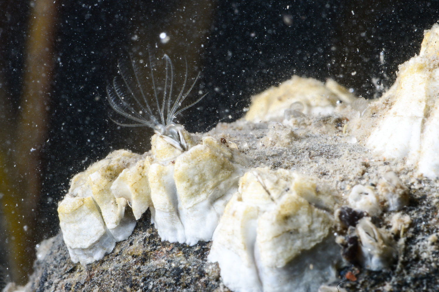 An acorn barnacle, also known as a balanus