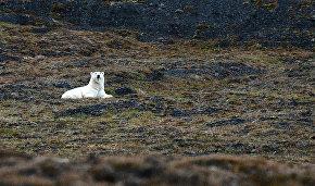 Росприроднадзор запускает проект по сохранению белых медведей