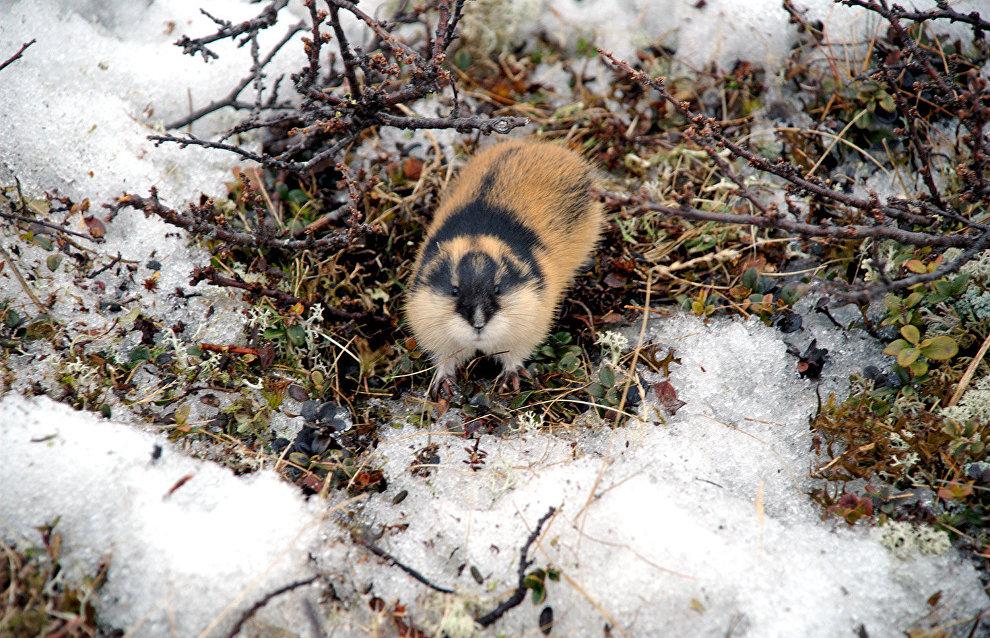 Late spring, floods impact Yamal-Nenets Autonomous Area's lemming population