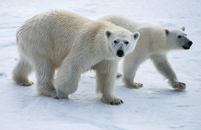 Polar bears encircle a Chukotka village
