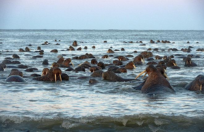 Экологи и ученые разрабатывают правила посещения лежбищ атлантического моржа