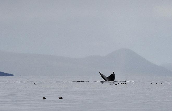 IFAW: Гибель серых китов в Охотском море прекратилась, численность достигла 250