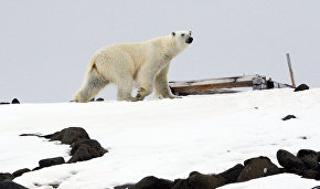 Scientists test polar bear sound repellent