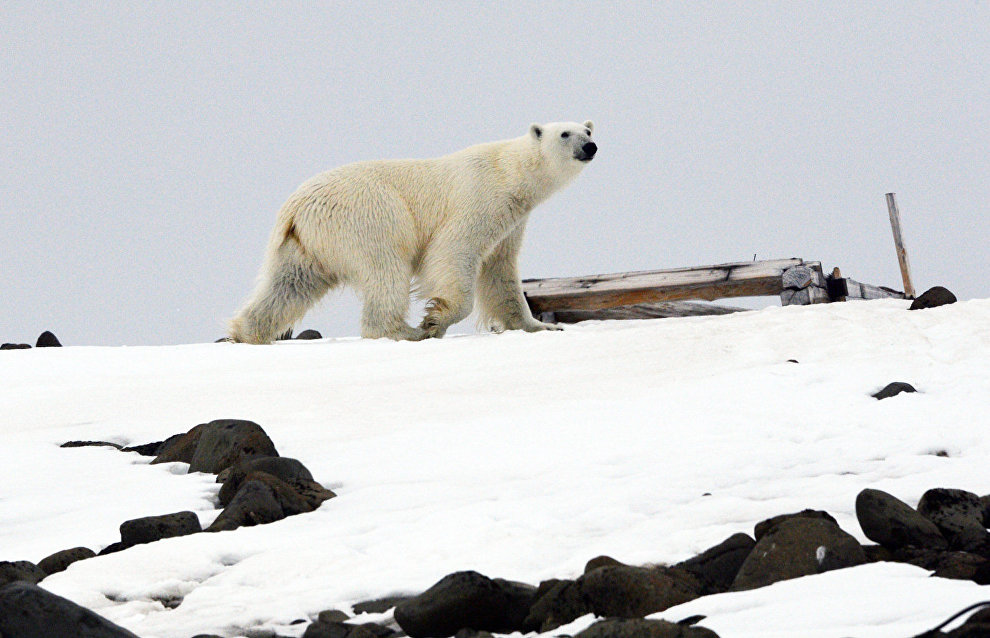 Scientists test polar bear sound repellent