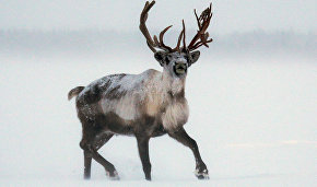 Ministry of Natural Resources and Environment discusses how to preserve wild reindeer population