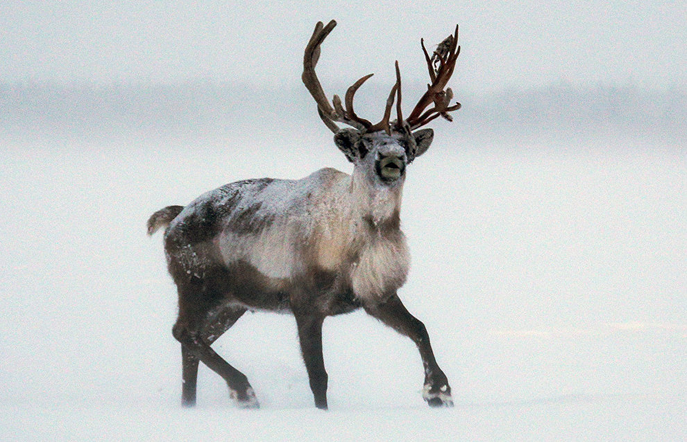 Cutting velvet antlers of reindeers banned by Krasnoyarsk Territory authorities