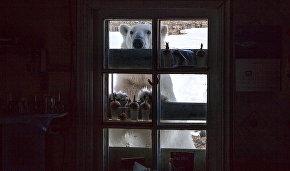 Polar bears start to leave Novaya Zemlya village
