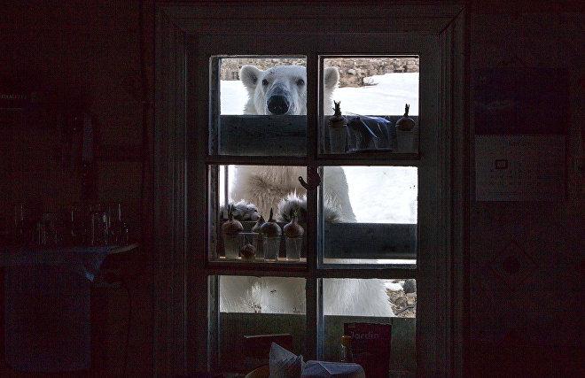 Белые медведи начали уходить из поселка на Новой Земле