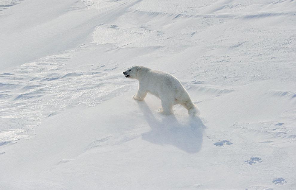 На Новой Земле снят режим ЧС из-за медведей