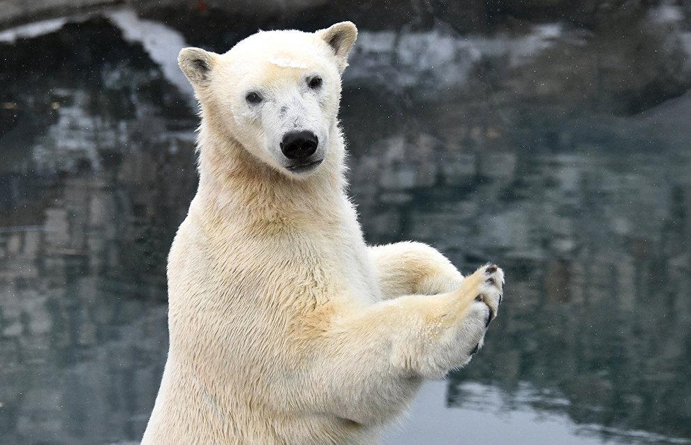 WWF: Нашествие белых медведей на Новой Земле может повториться