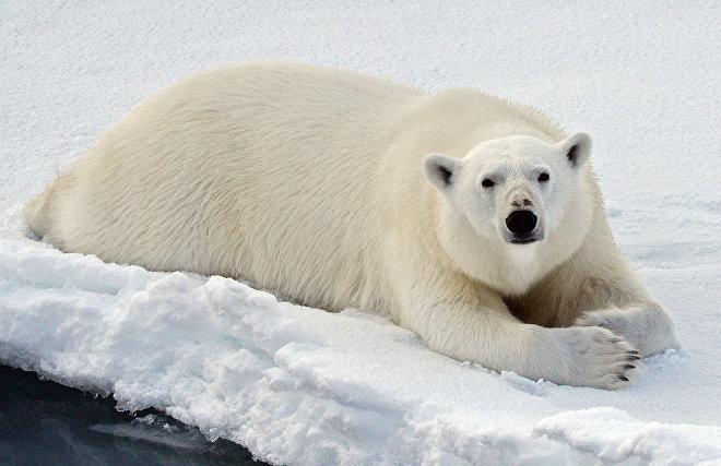Заблудившегося белого медведя отправили на вертолёте с Камчатки на Чукотку