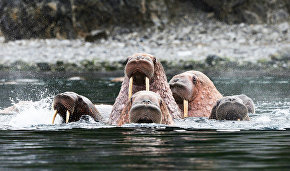 Senators to request walrus catch quotas for Chukotka residents