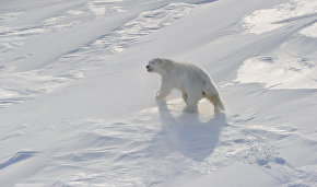 Как и зачем учёные собираются считать белых медведей — хозяев Арктики