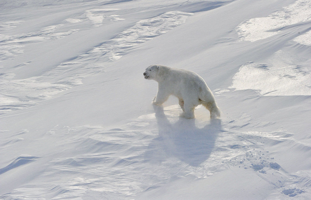 Kobylkin: Local authorities must prevent polar bears from coming to dumps