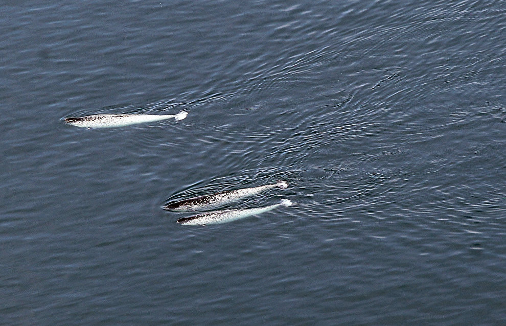Researchers head to Franz Josef Land to watch narwhals