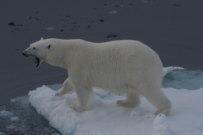 Белый медведь на льду Северного Ледовитого океана, Земля Франца-Иосифа, национальный парк «Русская Арктика»