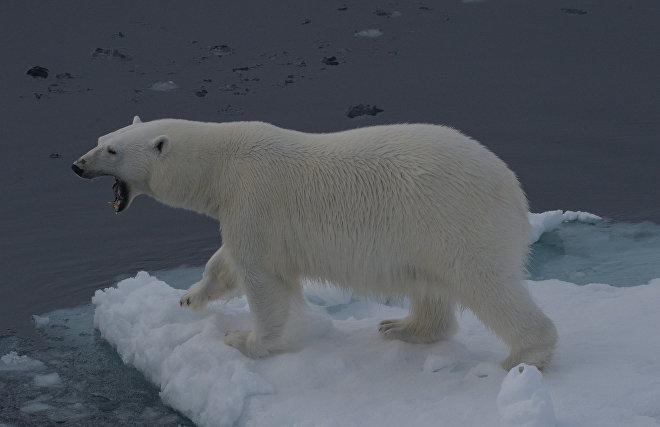 Polar bears and walruses return to Pacific Arctic ice for the first timein 20 years