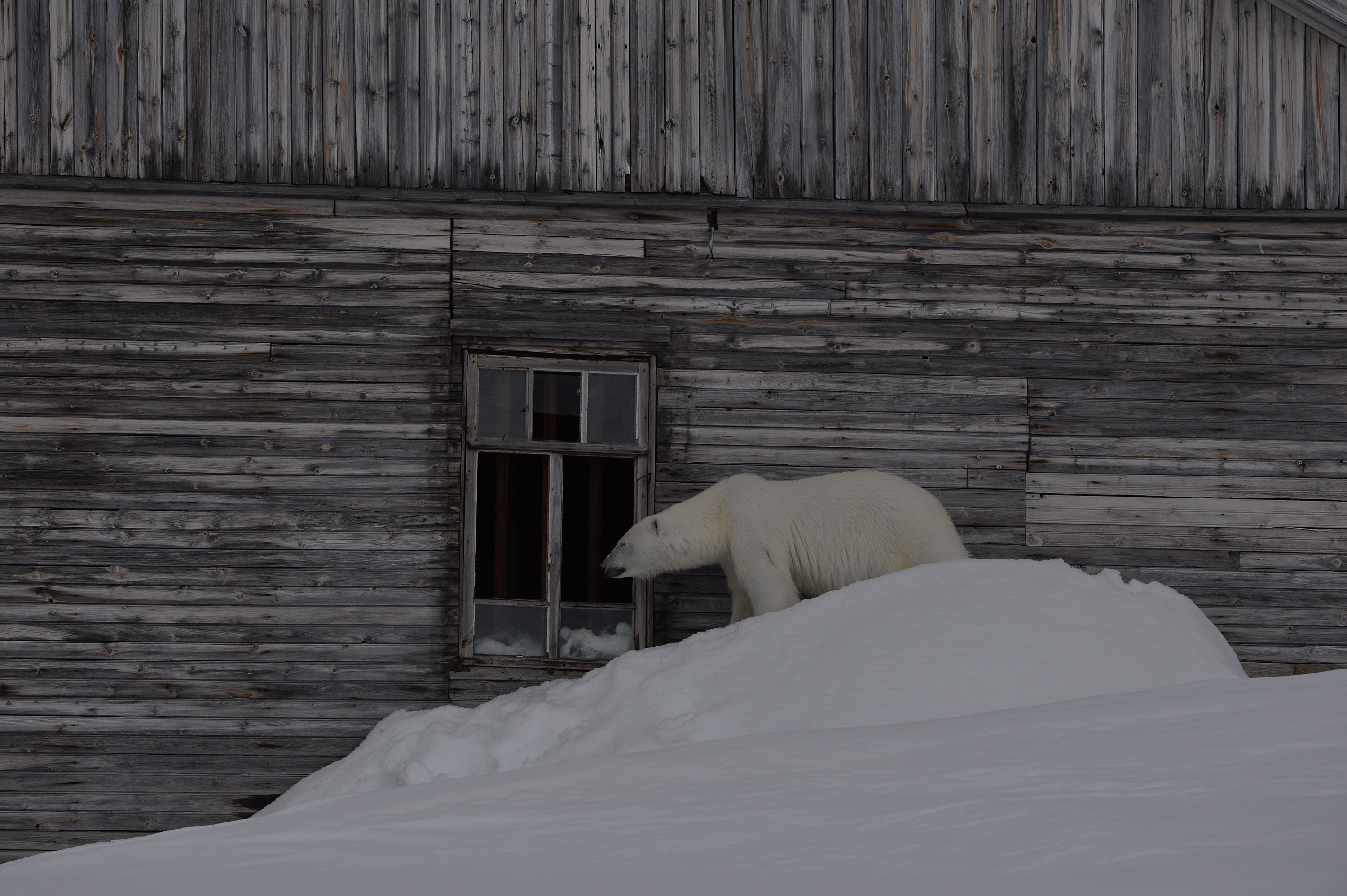 A polar bear looks into the window of the polar station, Hooker Island, Franz Josef Land, Russian Arctic National Park