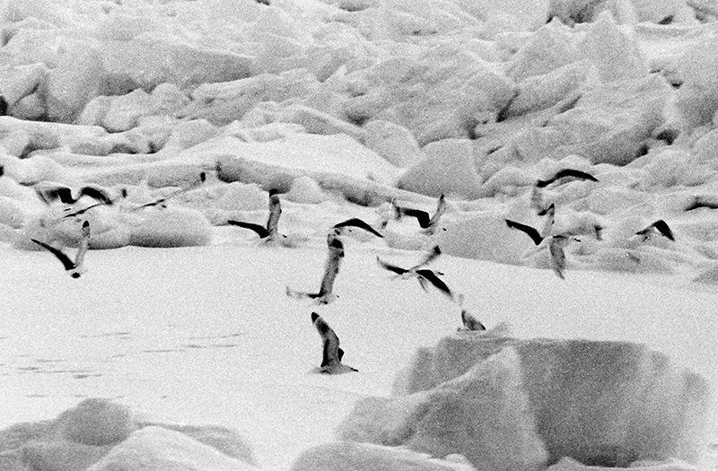Чайки над льдами Арктики