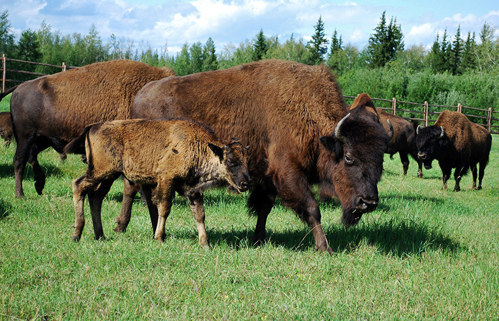 Wood bison included in Yakutian Red Data Book