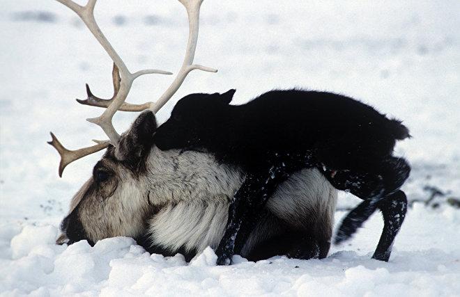 WWF: Дикий северный олень на Таймыре под угрозой исчезновения