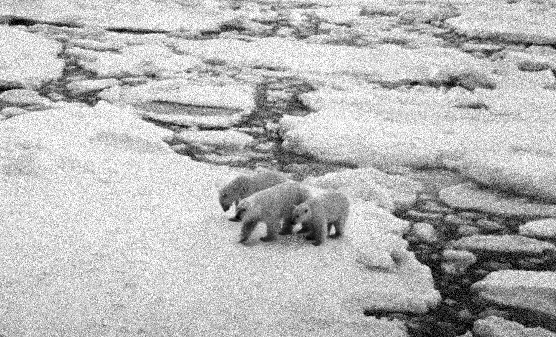 Белая медведица с двумя медвежатами идет по льдине