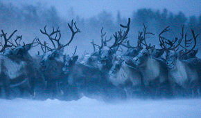 Yamal agricultural enterprises receive subsidies to develop reindeer herding