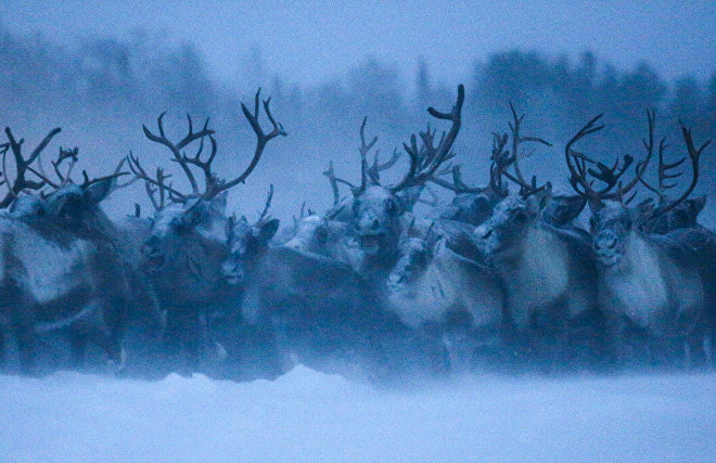 Natural Resources Ministry calls for protecting reindeer