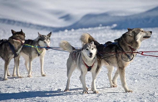 Питомник ездовых собак создан в арктической бригаде Северного флота