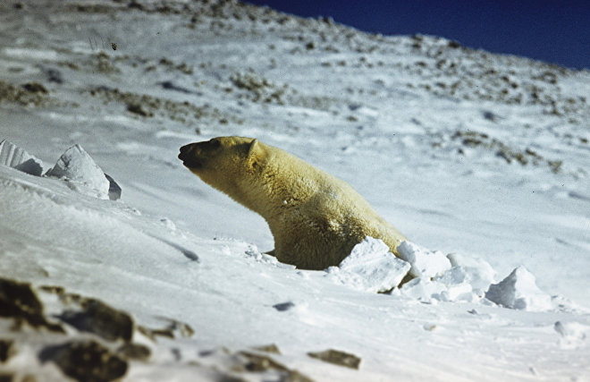 Experts in Chukotka looking for people who wrote 'T-34' on a polar bear