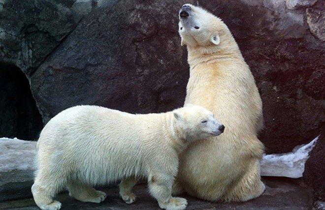 Белые медведи Московского зоопарка