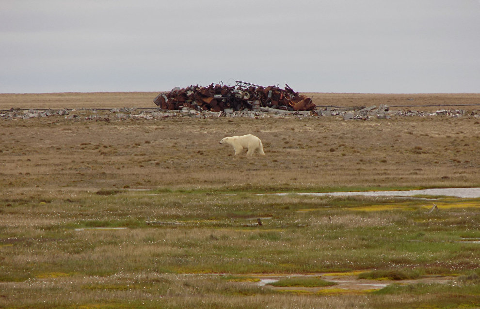 Волонтёры насчитали шесть белых медведей. Одну медведицу они назвали Машей