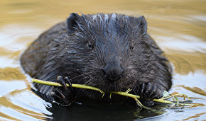 Beavers make permafrost melt faster