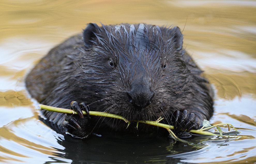 Beavers make permafrost melt faster