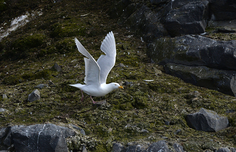 Rosneft begins studying ivory gulls in Arctic