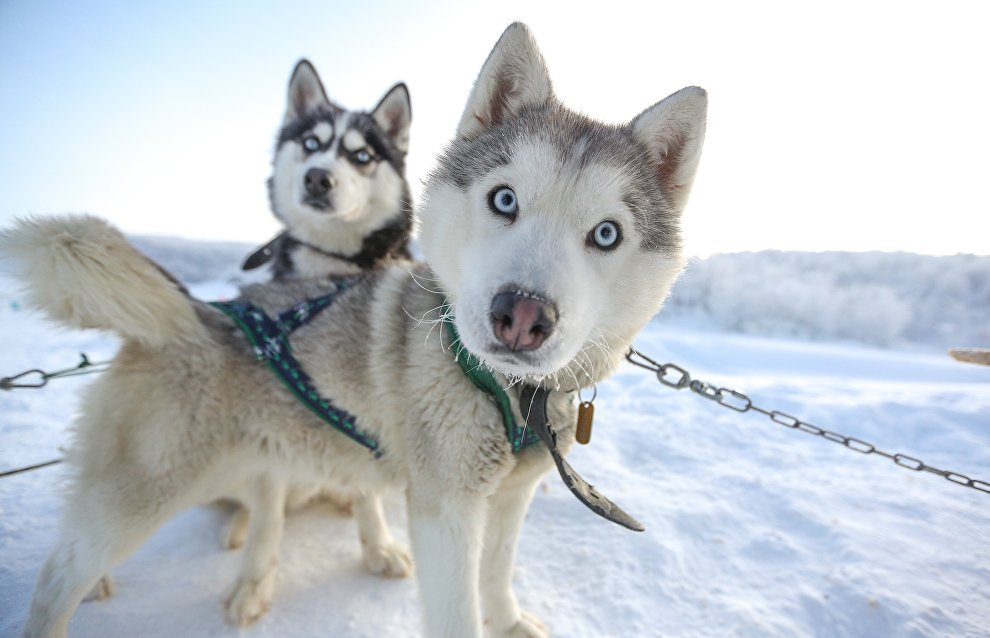 The first sled dogs appear in the Arctic 9,500 years ago