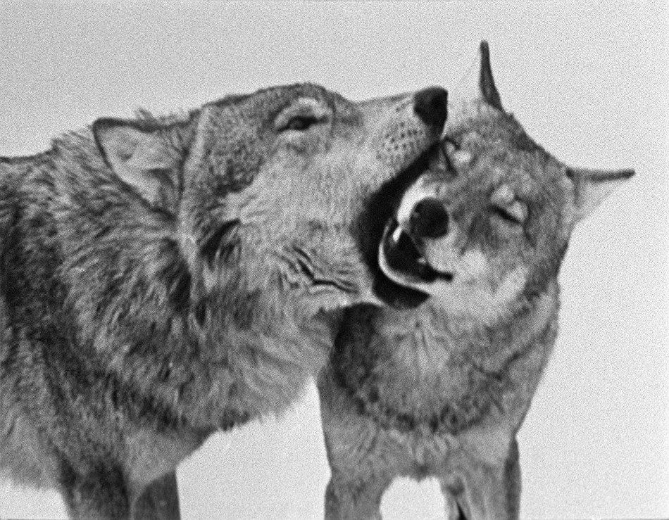 A wolf pride