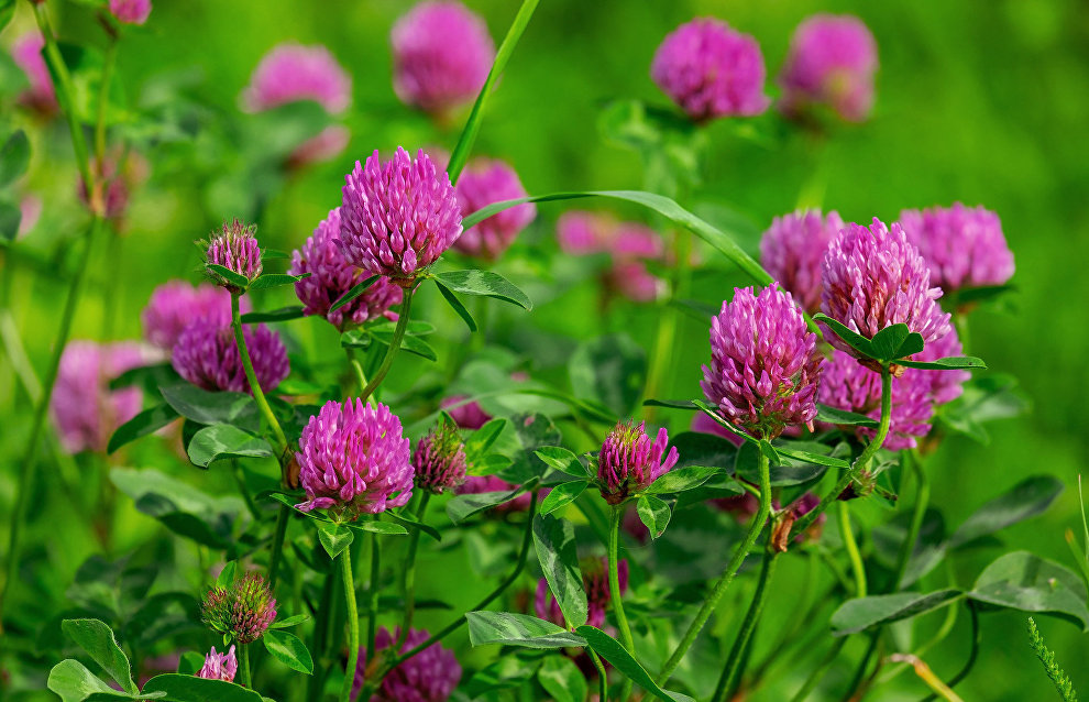 Arkhangelsk scientists produce a new type of clover for fodder in the northern regions