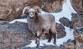 Bighorns to be relocated from Yakutia to Yamal Peninsula