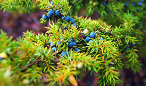 New medicinal substances have been obtained from Arctic juniper