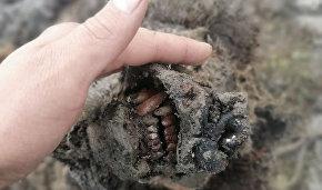 Учёные СВФУ изучат останки доисторического бурого медведя